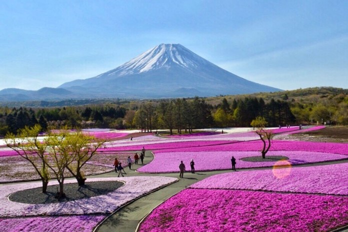 Spring colors in Japan. One of the event in spring at Motosuko Resort in Mt. Fuji area. It's at their best in end of April to beginning of May.