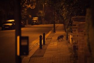 Sneaking Fox