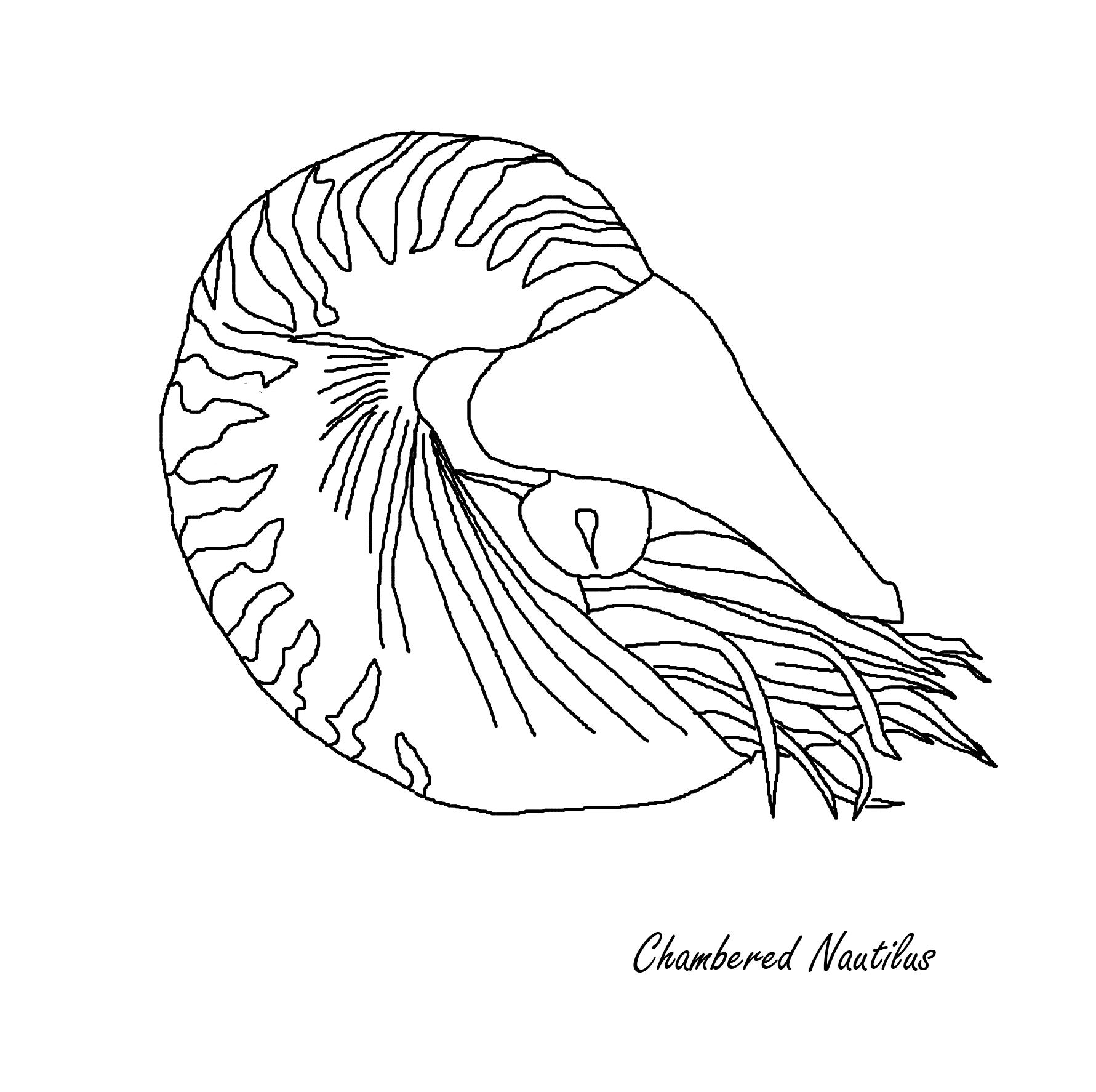 chambered nautilus drawing