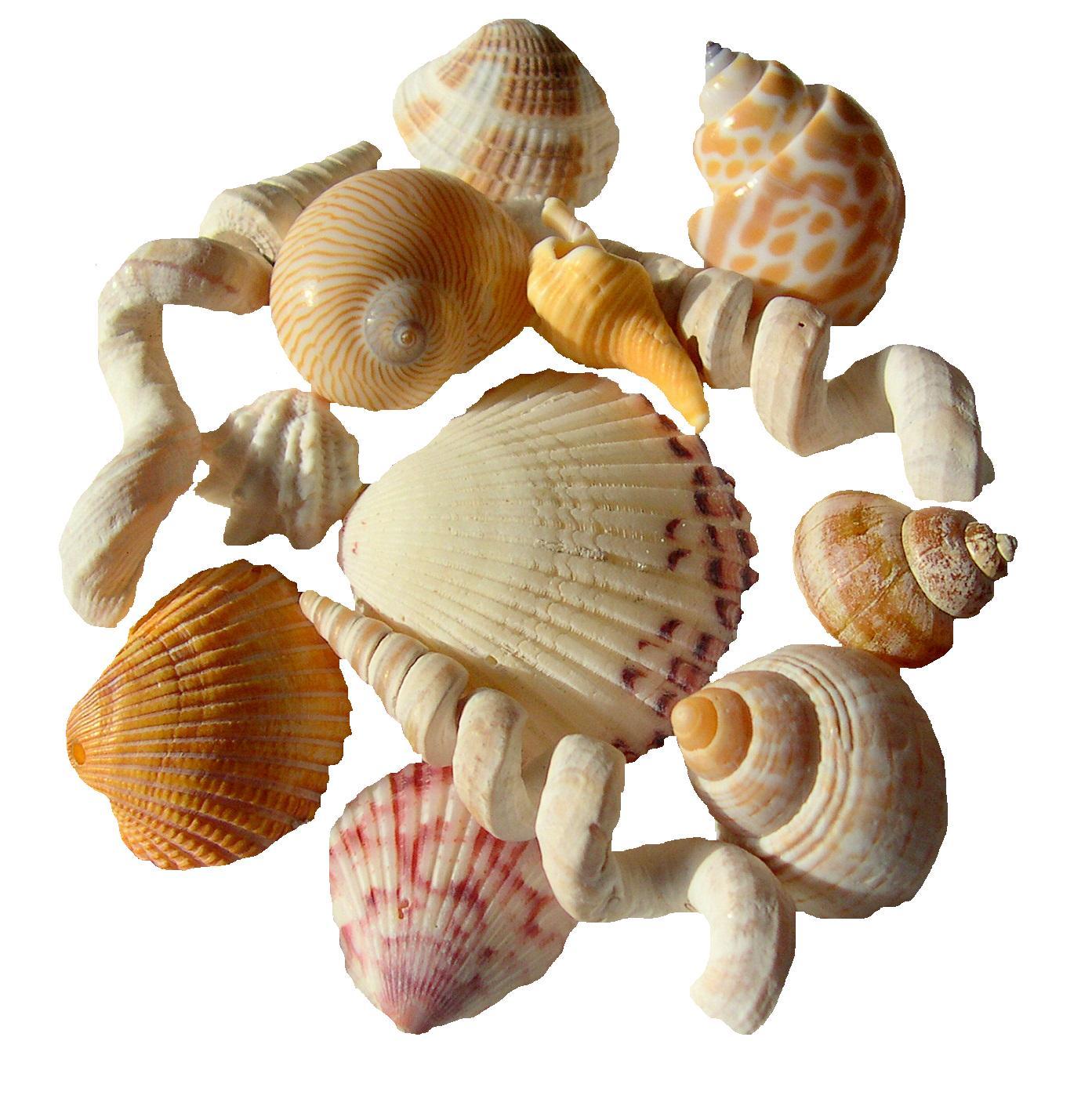 tropical seashell photography