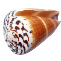 Puka Shells:  What Are They?