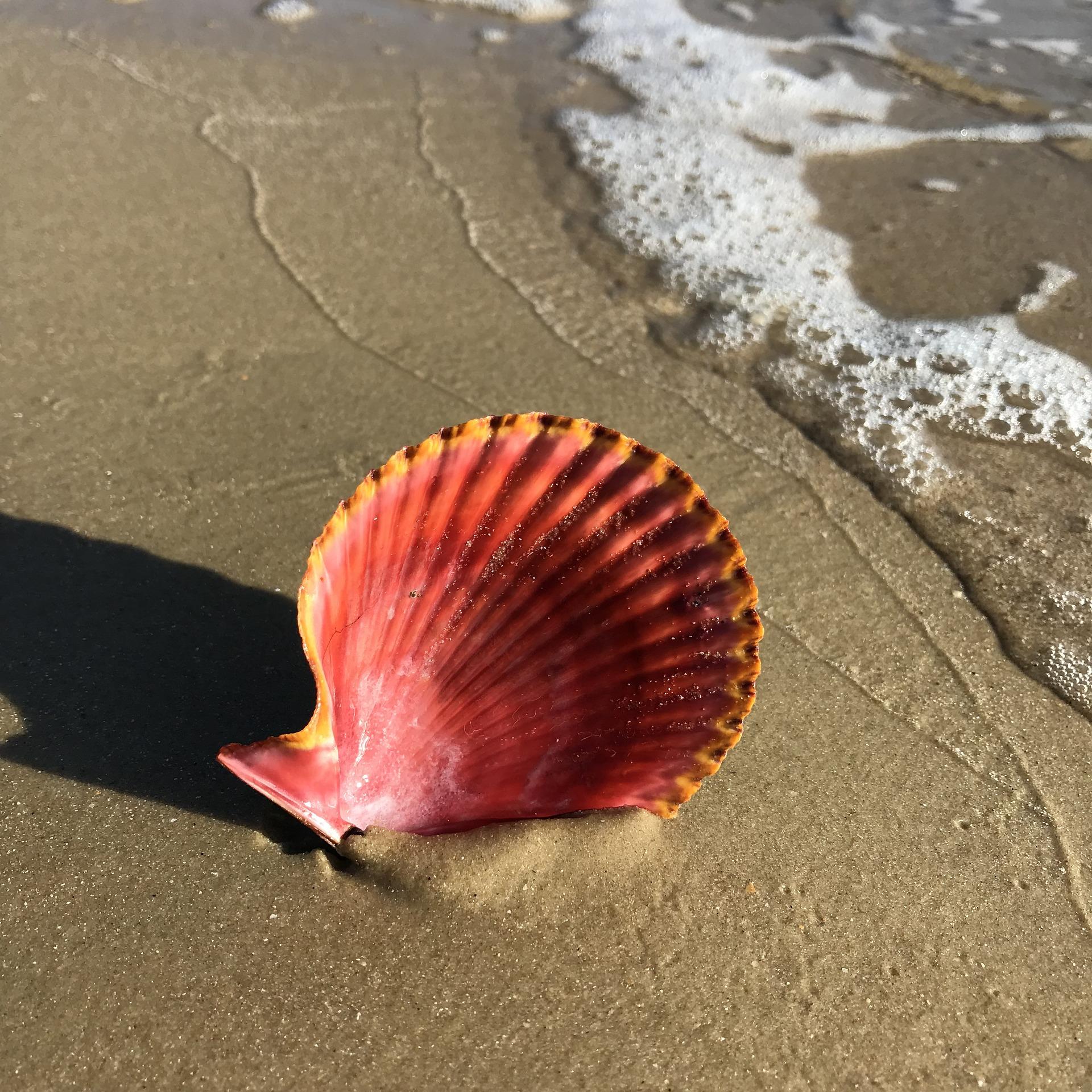 rare shells, seashells, florida shells, top rare