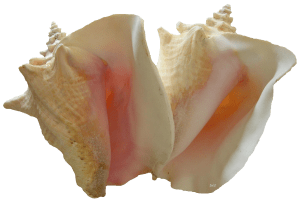 two queen conchs png