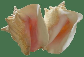 queen conch shells