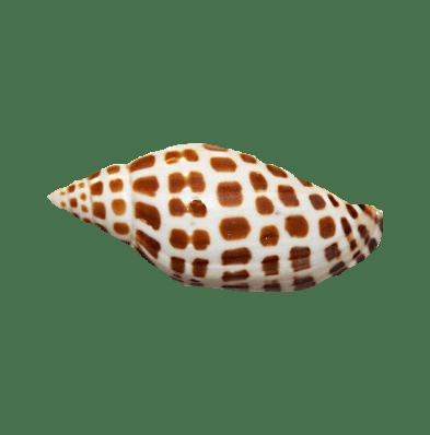 spotted junonia seashell