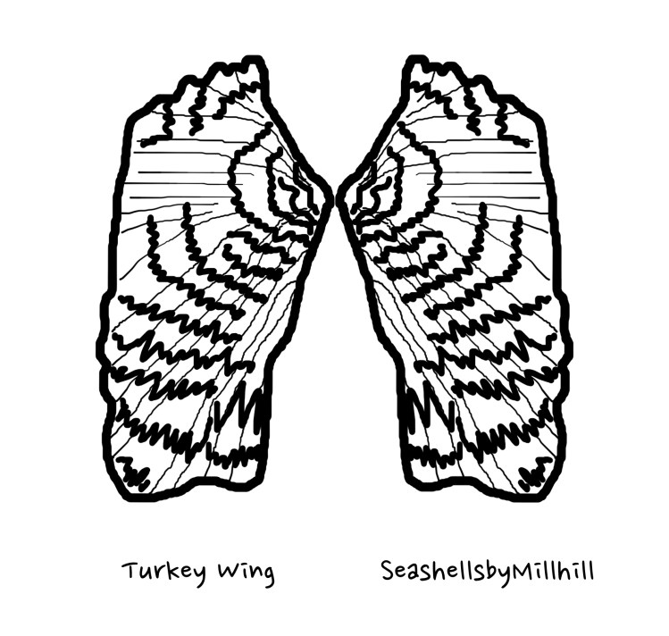 Turkey wing seashell coloring page to download and print out for free, personal use.