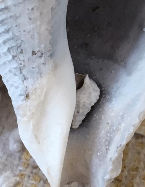tiny seashell
