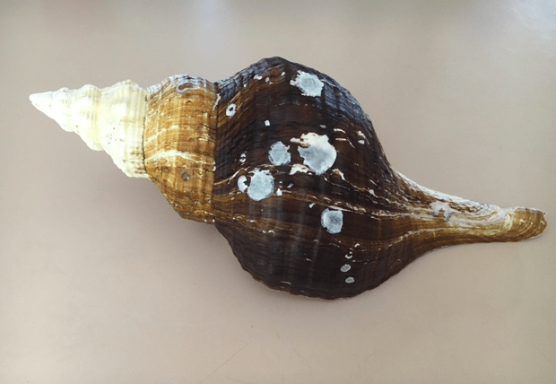 cleaning horse conch