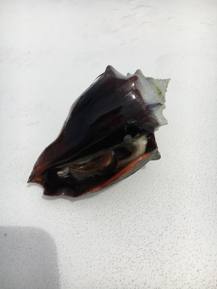 fighting conch seashell