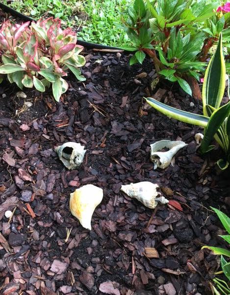 big shells in garden mulch