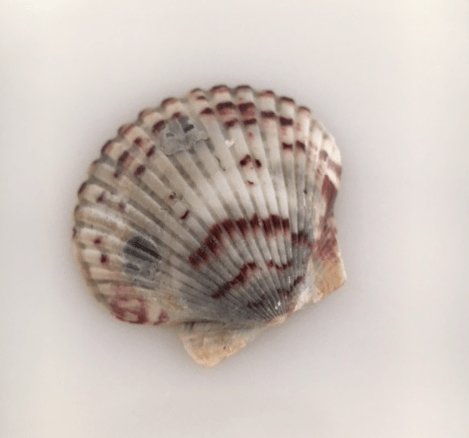Scallop shell with maroon and gray coloring