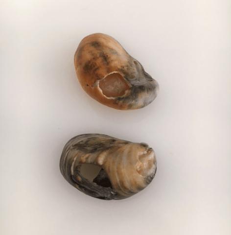 slipper shells turning black