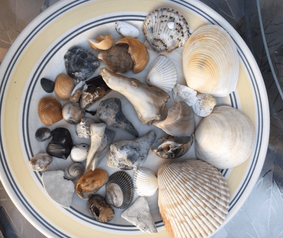 seashells collected off the beach in Ponce Inlet