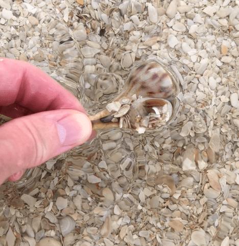 live pear whelk