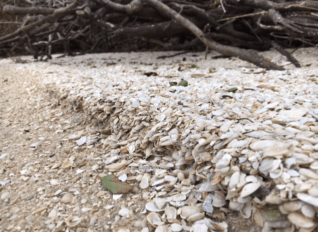 seashell berm