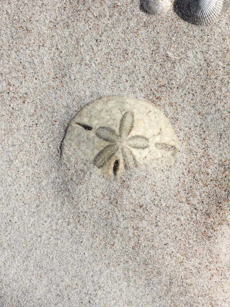 sand dollar in beach sand