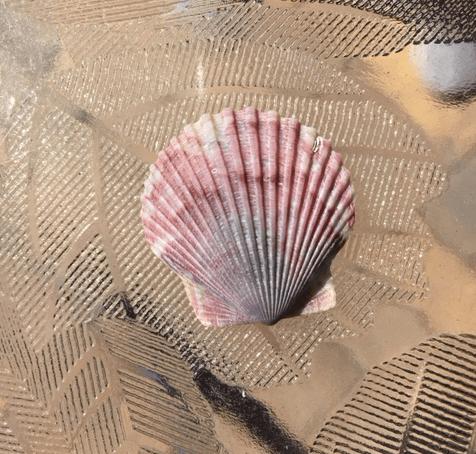 calico scallop shell