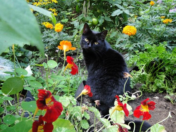 black cat and nasturtiums