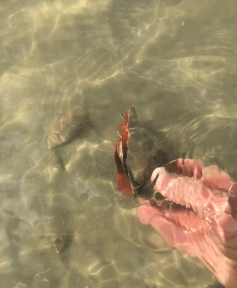 living fighting conch mollusk
