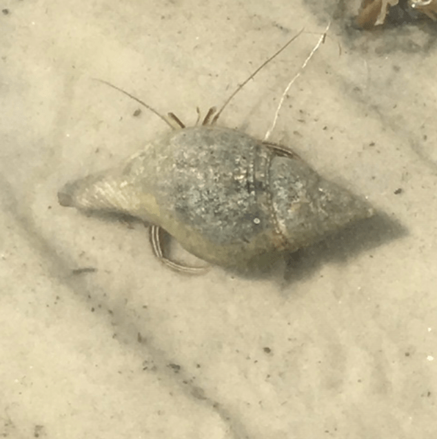 hermit crab in the wild