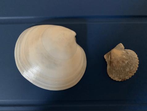 Dosinia and scallop shells