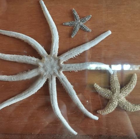 Starfish under glass at Smyrna Dunes Park