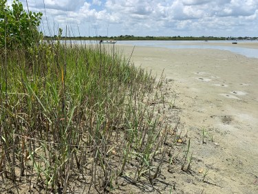 Grass and sand where fiddler crabs live
