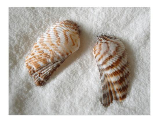 Turkey wing seashells blank postcard