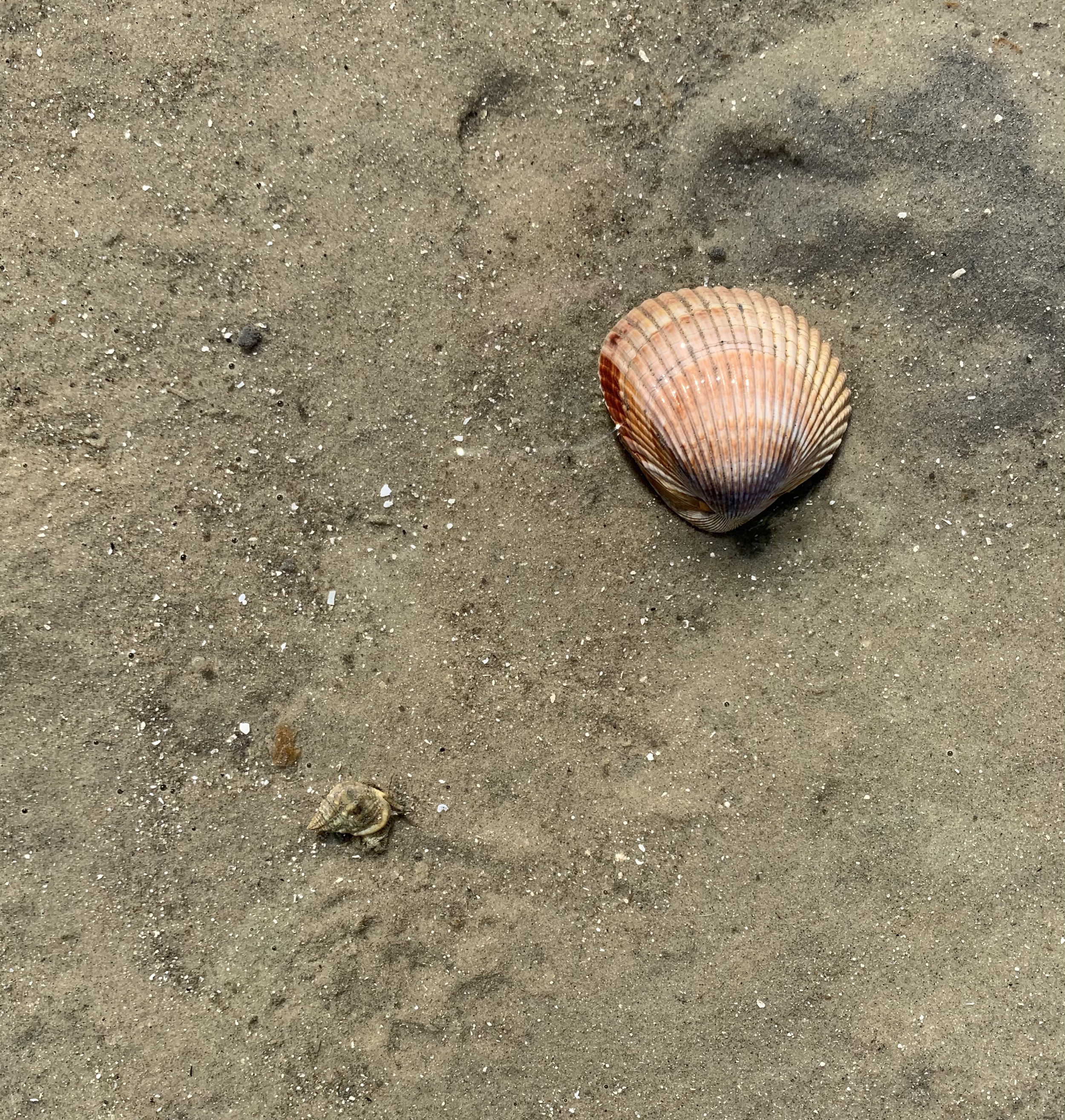 Whole clam and tiny mollusk
