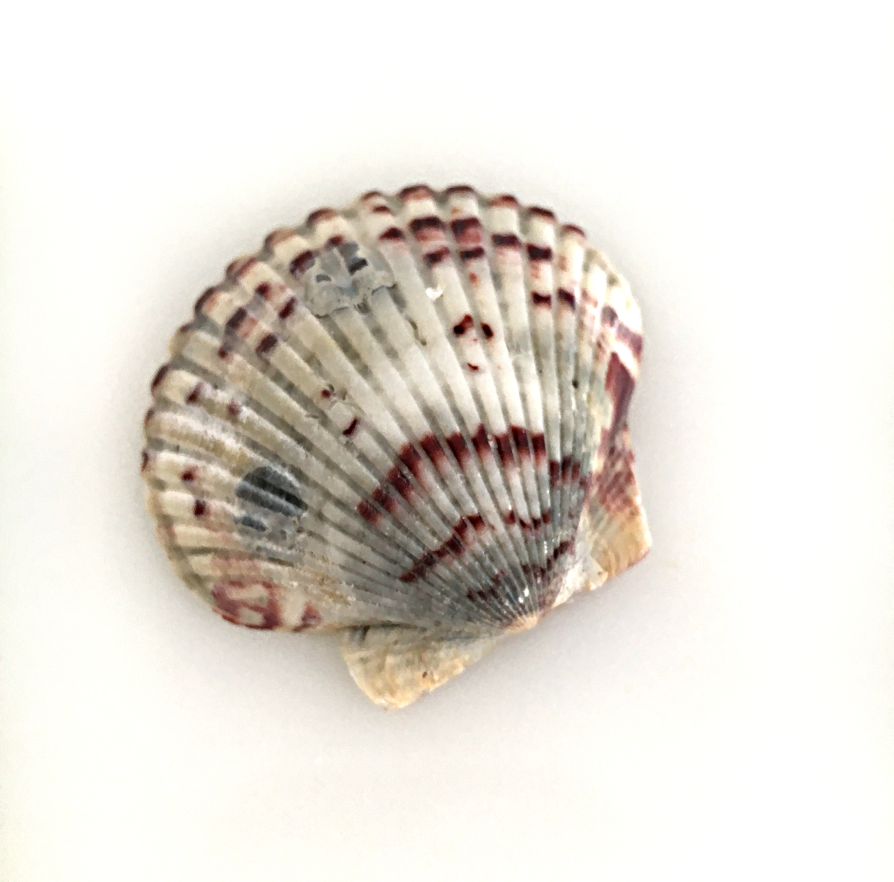 Pretty scallop shell with maroon stripes