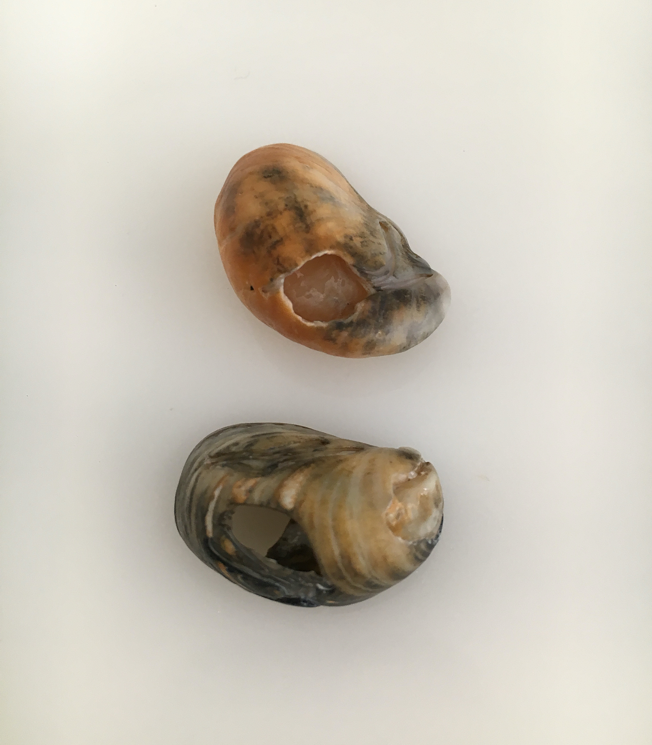 old slipper shells turning color from sediment
