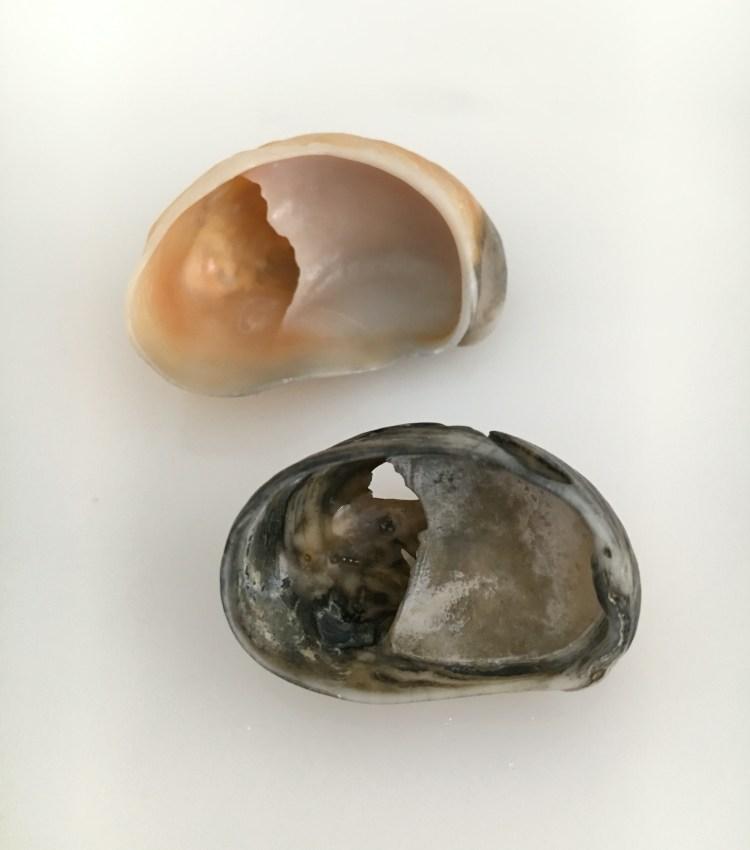 Slipper shells orange and black