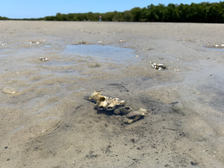 oysters mud, low tide, mud flats, saltwater beach