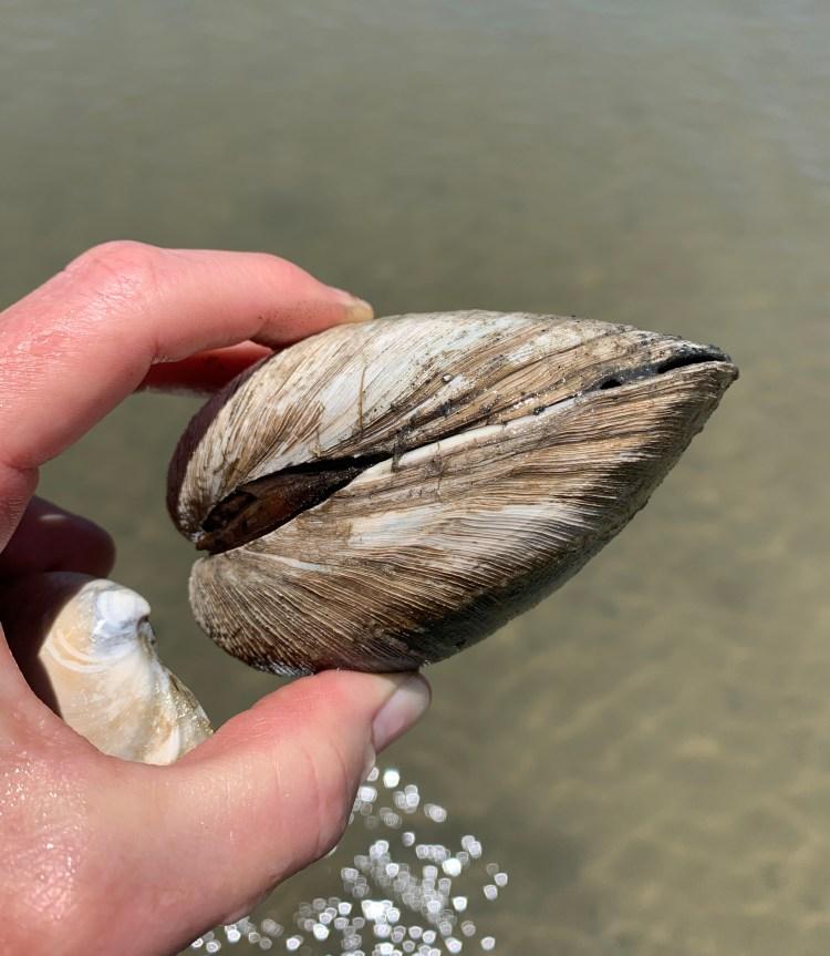 big living clam quahog seashell