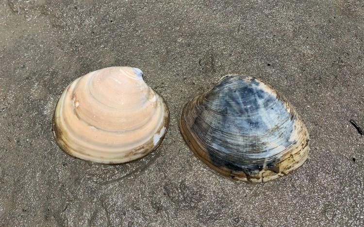 clam dosinia quahog