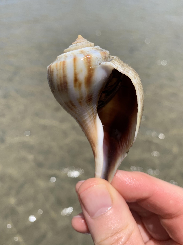 Pear whelk stripes aperture holding hermit crab