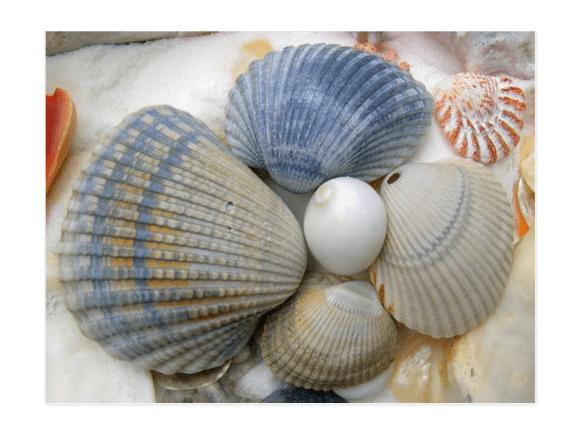 blue seashells postcard arks clam shells