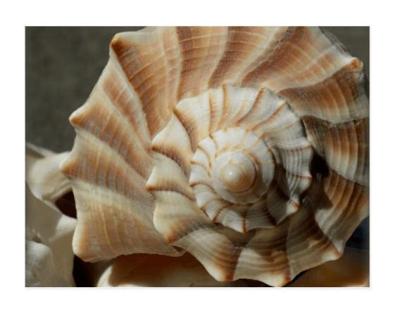 seashell spiral postcard lightning whelk