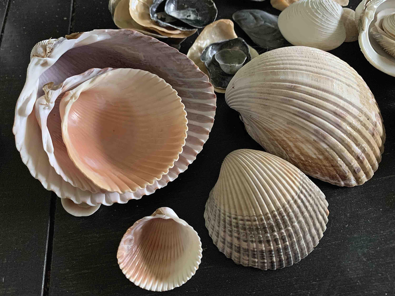 cockle shells pricklycockle