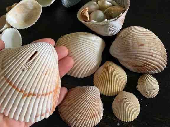 large cockle shells