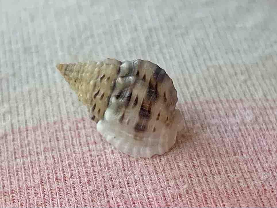 bruised nassa shell