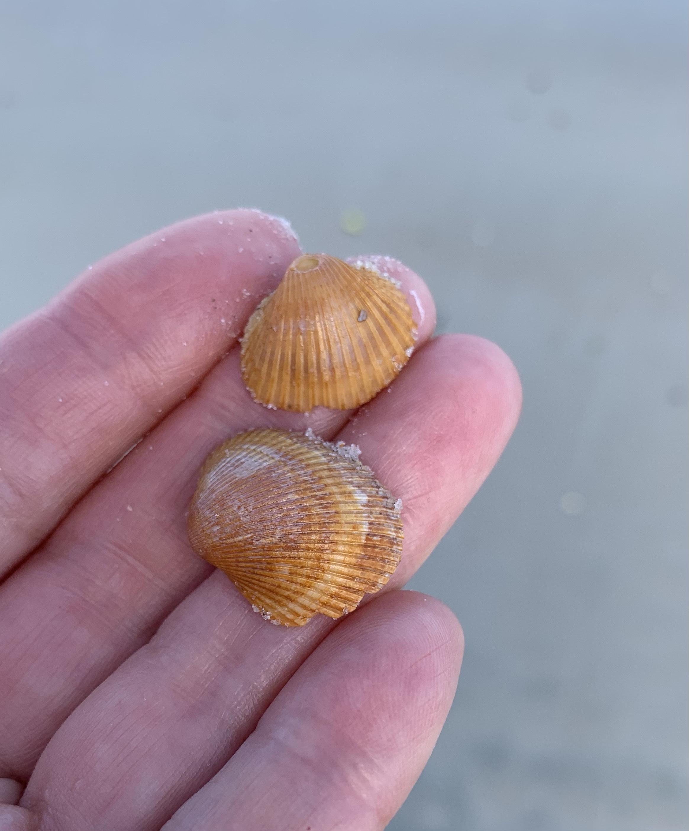 Orange seashells