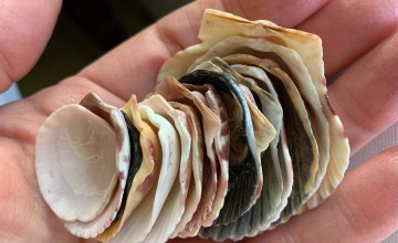 collection of calico scallop shells