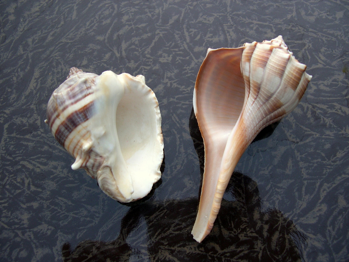 Lighting Whelk The Left Handed Seashell Seashells By
