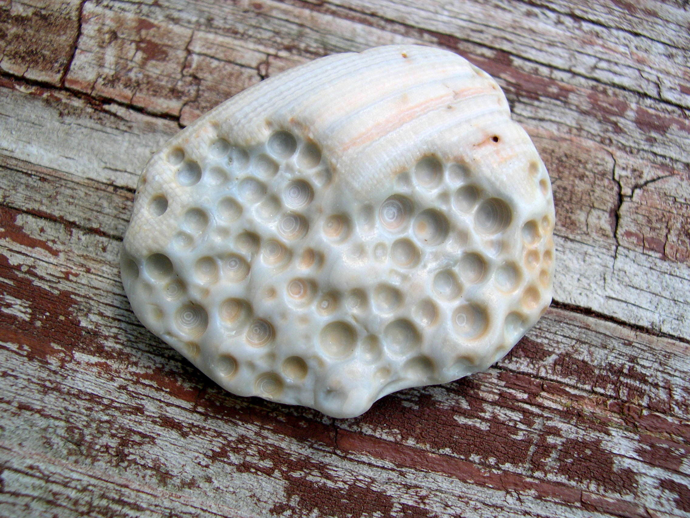 Unusual Beach Treasures Seashells By Millhill