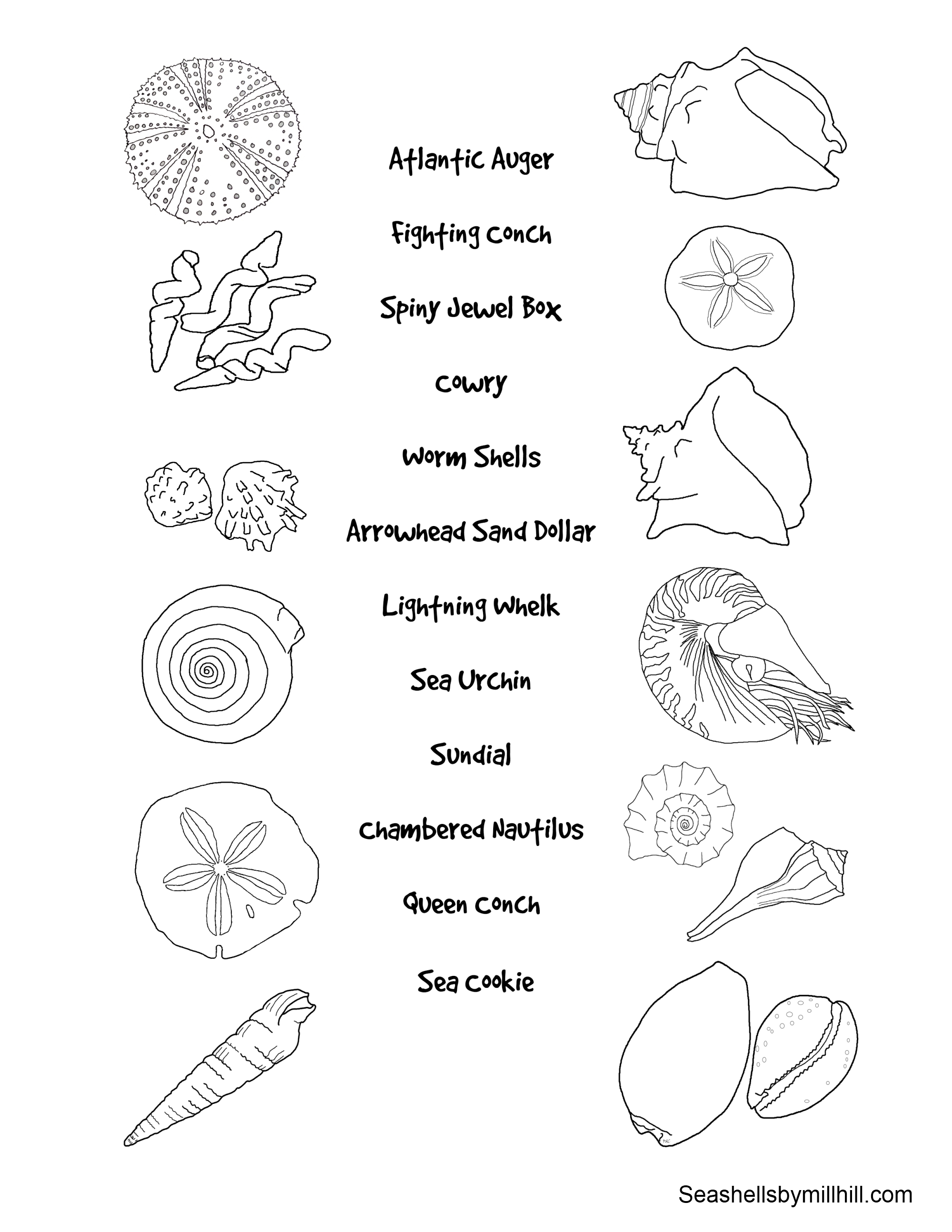 Seashell Identification Matching Page For Kids