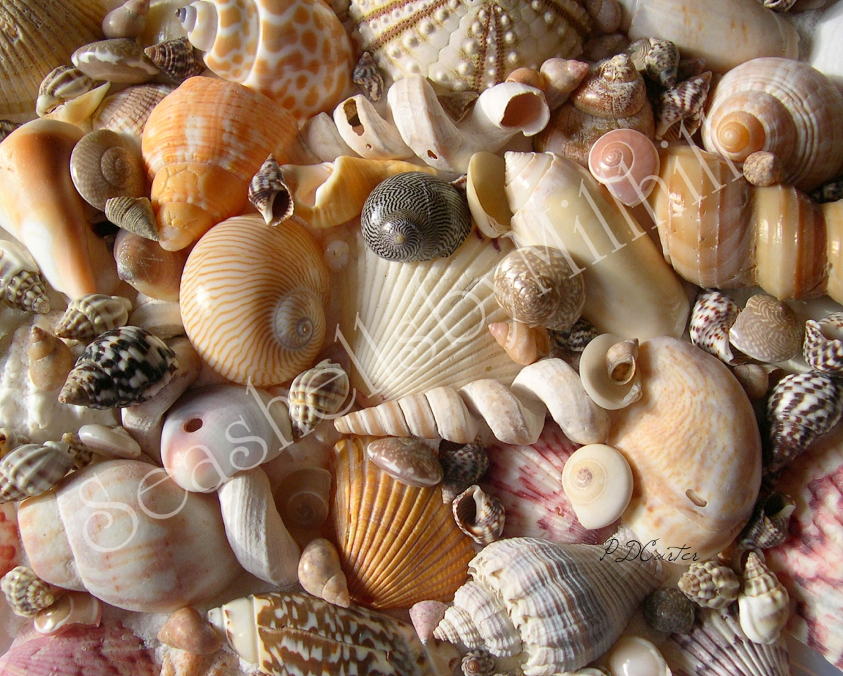 Identifying Your Seashells Where To Start Seashells By