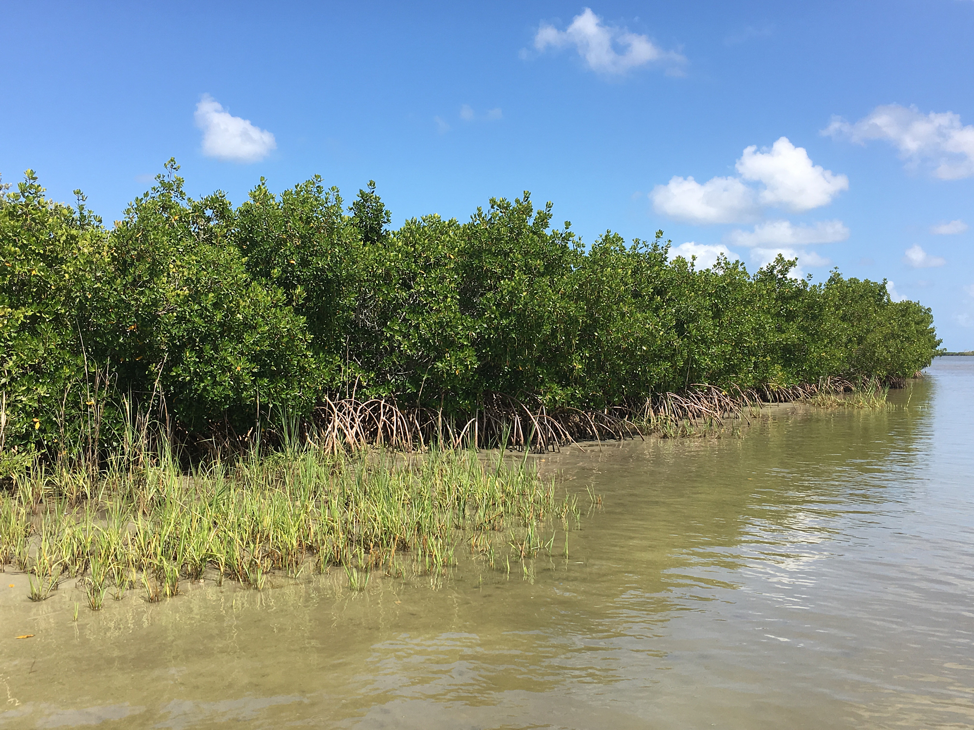 Mangroves Are Homes To The Shell Makers And Shell Thieves