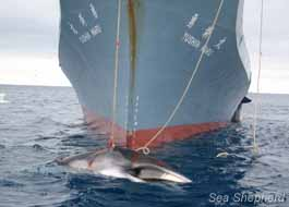 editorial_111214_1_1_whaling_in_the_southern_ocean_3