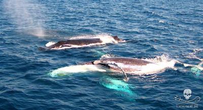 editorial-141223-1-humpbacks-off-the-gold-coast-of-australia-400w